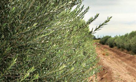 Virgen extra, el mejor oliva