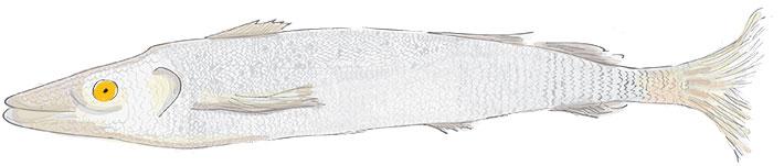 Sarasa-negro