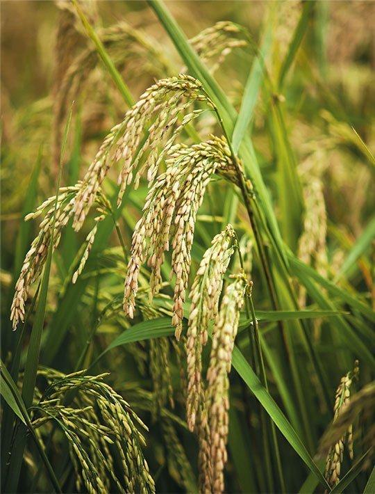 arroz-4