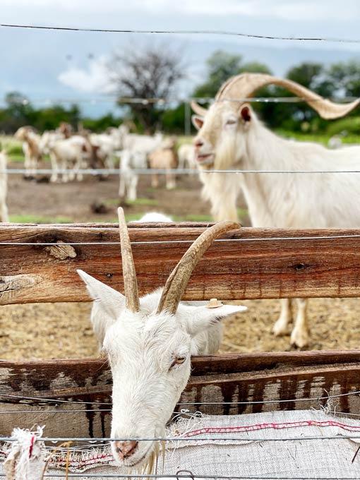cabras-cordobesas