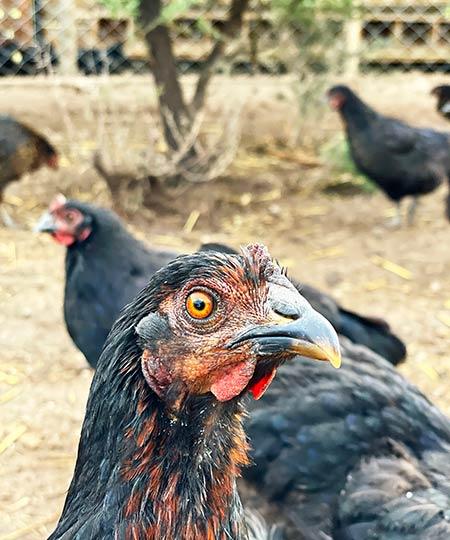 el-campanario-gallinas-libres
