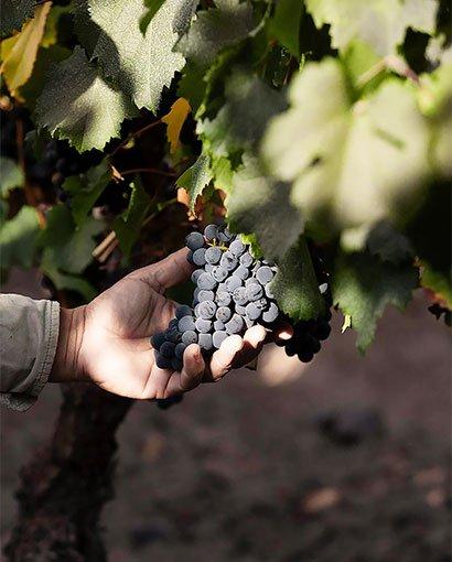 terrazas-de-los-andes-uvas