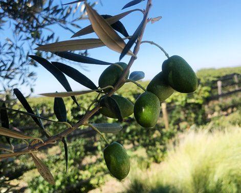 Pulenta Estate presenta un nuevo packaging para su aceite de oliva